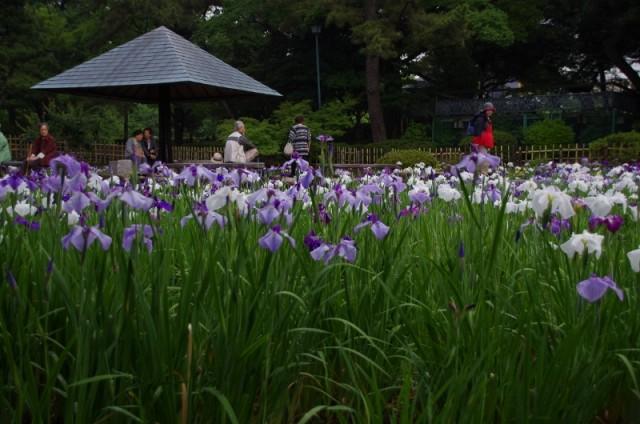 鶴舞公園 花ショウブ
